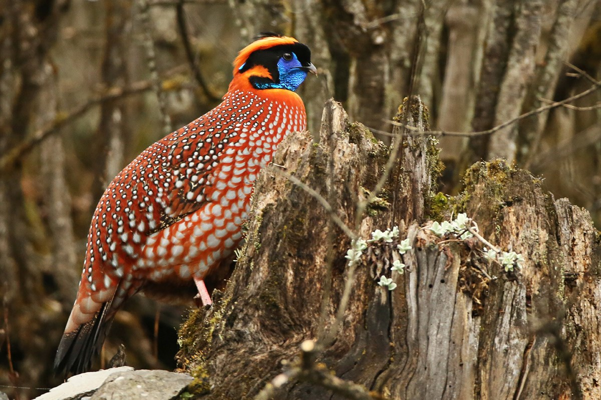 Temmincks Tragopan | Photo by Thierry Quelennec