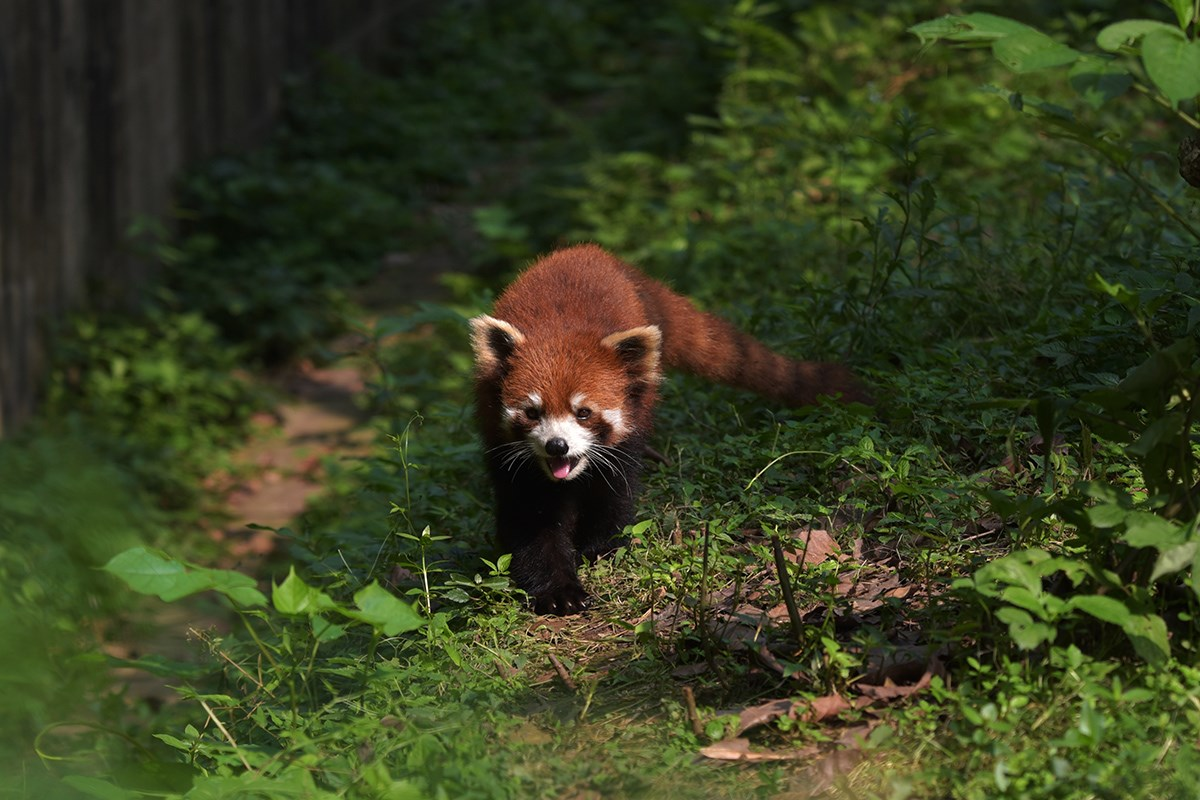 Red Panda | Photo by Liu Bin