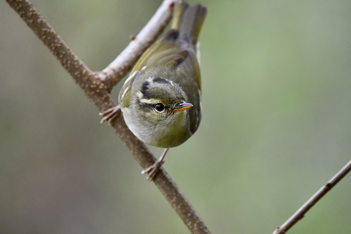 Claudias Leaf Warbler | Photo by Liu Bin