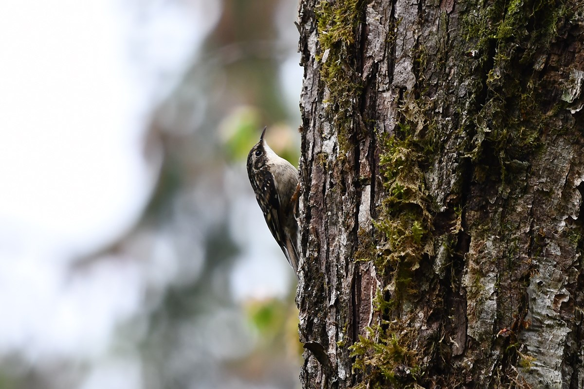 Eurasian Treecreeper | Photo by Liu Bin