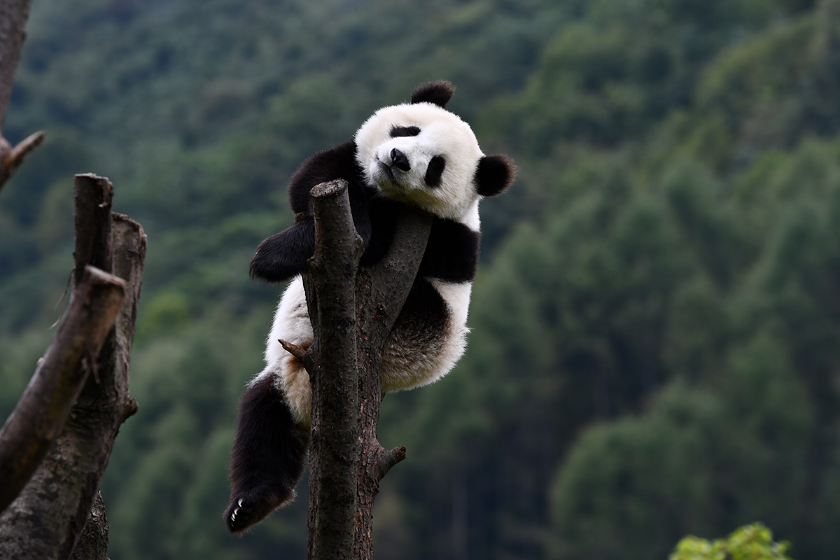 Panda in Wolong | Photo by Liu Bin