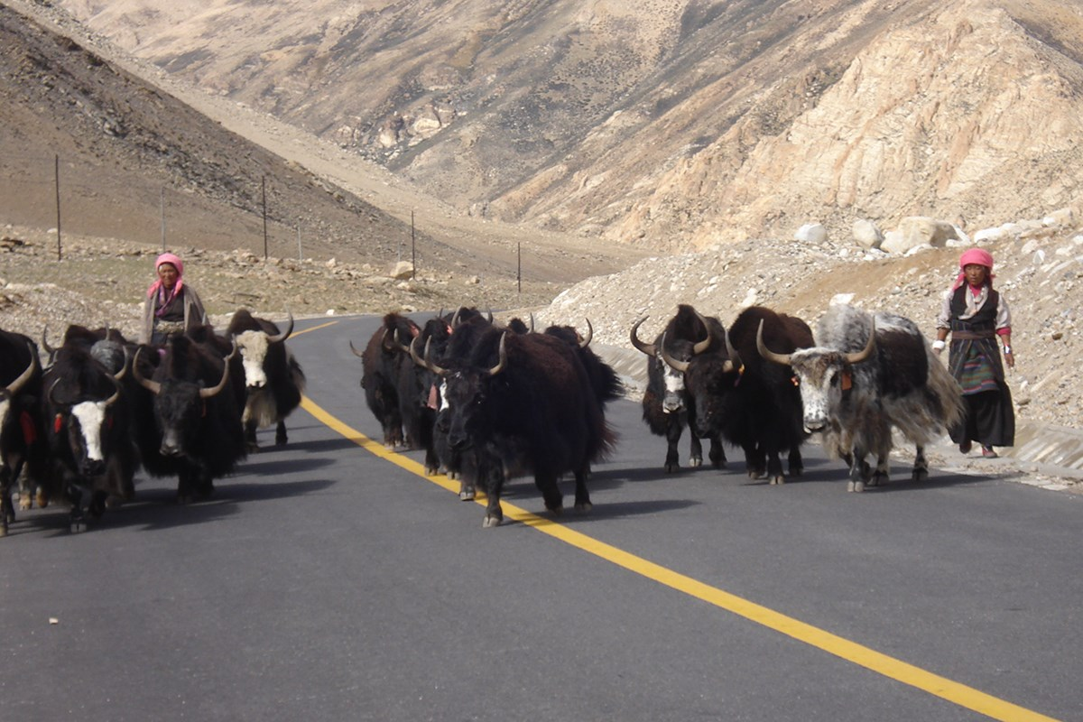 Yaks on the Way